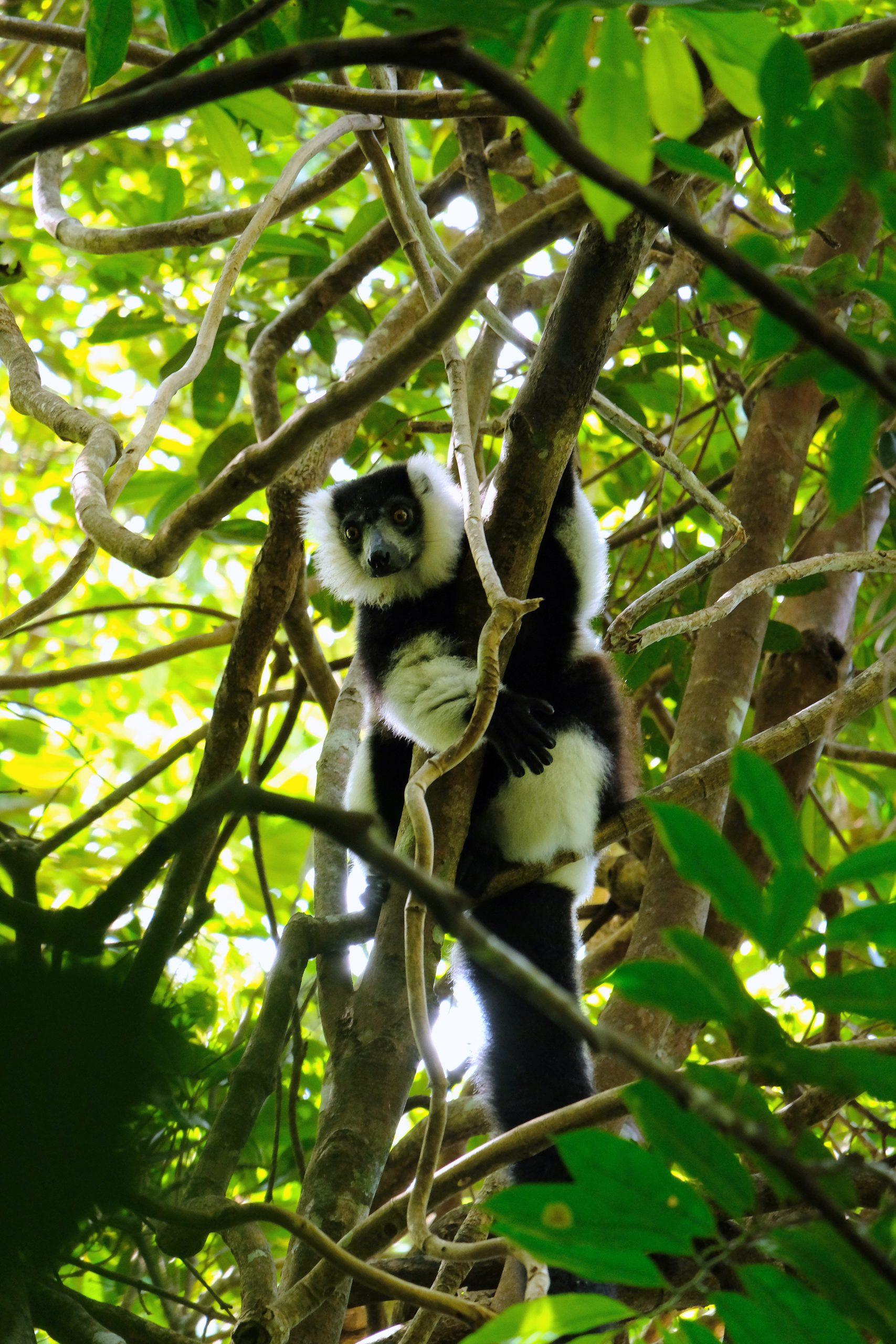 Black and white ruffed lemur in tree