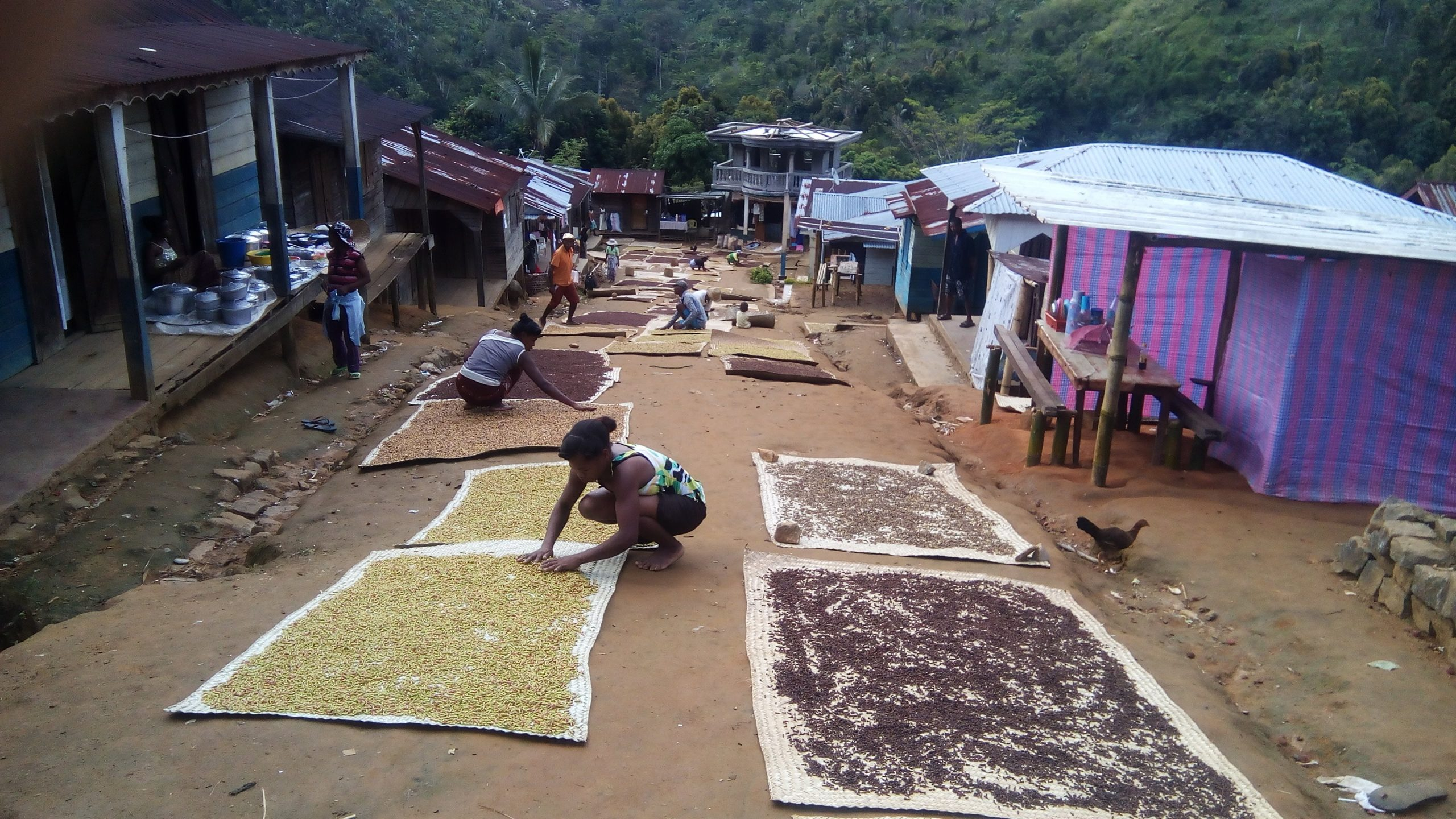 People drying cloves