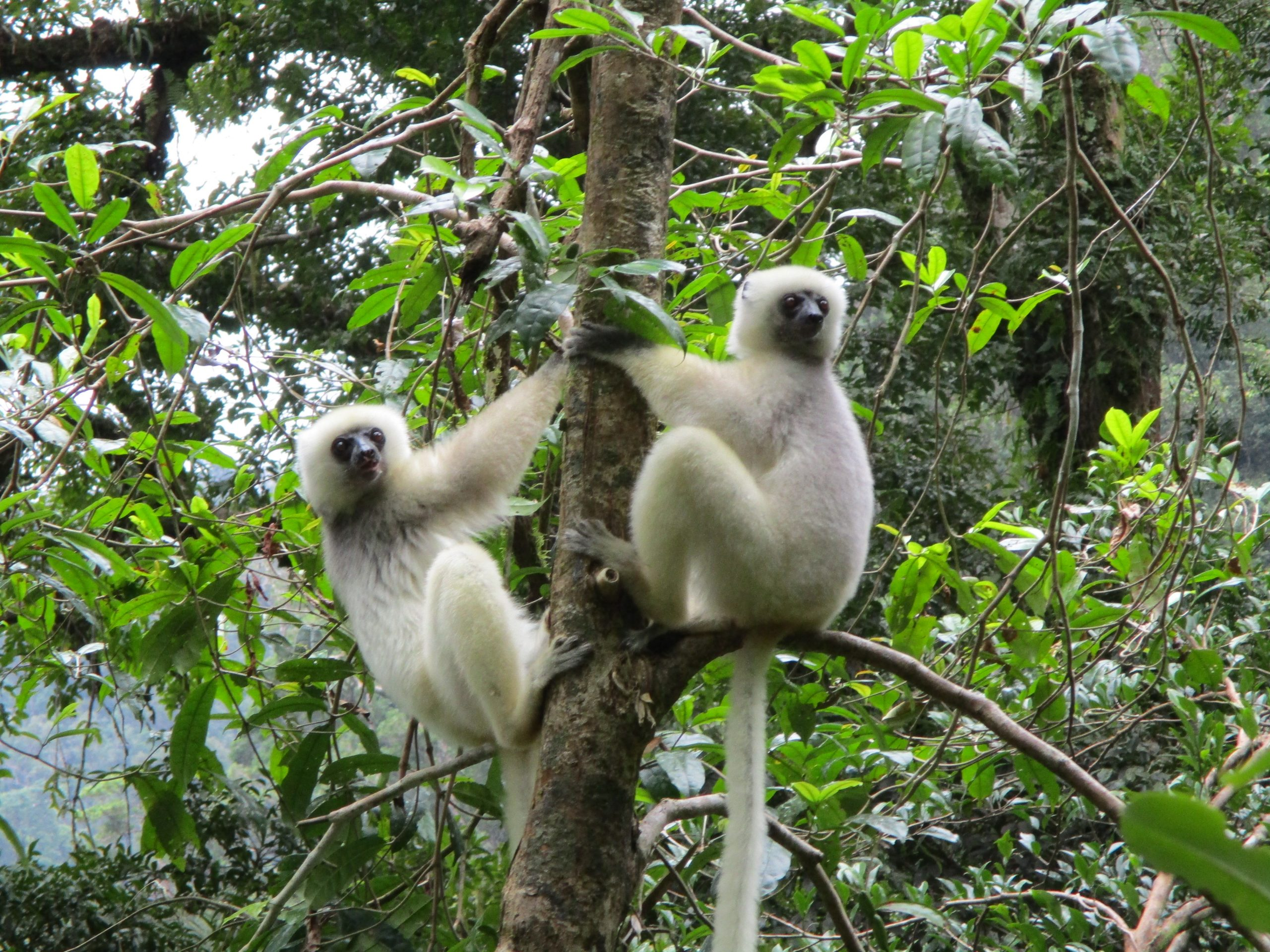 Two Silky Sifaka lemurs in a tree